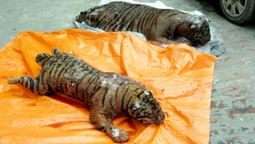 Frozen endangered tigers found in Hanoi taxi
